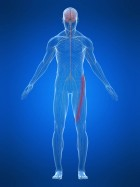 cruralgie - nerf crural - etiopathie - osteopathie - osteopathe - Soizic FERLAY - etiopathe Challes les eaux - Montmélian - Pontcharra - Chambéry - Aix les bains